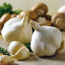 SNOW HILL HIMALAYAN ORGANIC FRESH GARLIC BULB GROW ON HIGH ALTITUDE 10 -15 BULBS