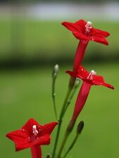 Ipomea Quamoclit Seeds Red Cardinal Vine Cypress Vine 25+ seeds