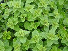 "Oregano Seeds ""Italian"" (Approx 250 Seeds),popular garden herb"