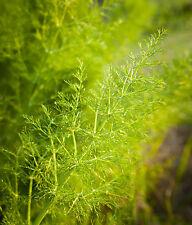 1470mg Wild Fennel ~290 Seeds ~ Imported Italian Heirloom Herb Ornamental Plant