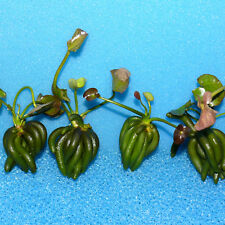 Nymphoides Aquatica,Wasserbanane,Seekanne,Banana Plant, Lily - Preisvorschlag