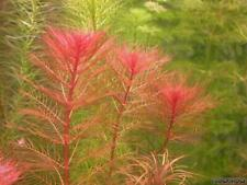 Red Myrio Foxtail With Expedited Shipping | Aquarium Live Stem Plant