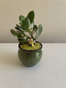 Crassula Ovata Lemon/lime, variegated jade