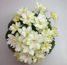 N-Vera Pflanze/plantUsambaraveilchen African Violet