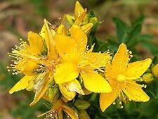 St Johns Wort Seeds, Heirloom Herb Seeds, Non-Gmo Herbs, Medicinal Herb, 100ct