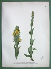 WOOLY MULLEIN Verbascum schraderi Medicinal Plant - COLOR Botanical Print