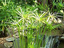 Umbrella Palm Seeds $ (20 Nos) F-077