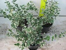 1 Weiß grüner Spindelstrauch Euonymus Emerald Gaiety immergrün 10Tb Originalbild