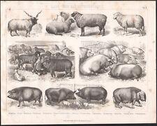 1870 Gravure originale agriculture élevage moutons porcs races porcines animaux