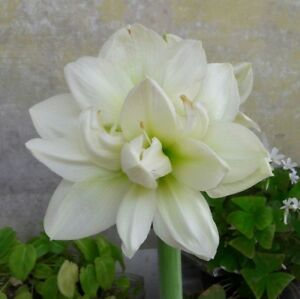 Double Amaryllis Bulb💝Hippeastrum 'Marilyn'💝Knight Star Lily💟Flowering Size