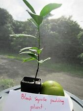 "About 34"" Tall Black Sapote Chocolate Pudding Tropical Plant Diospyros Digyna"