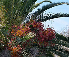 PHOENIX CANARIENSIS VAR. PORPHYROCARPA 10 semi seeds Canary Palm red fruits