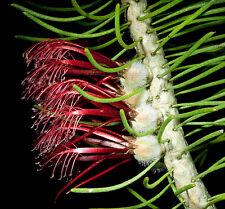 Calothamnus hirsutus Hairy Claw flower 20 seeds