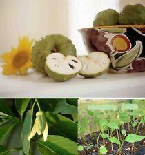 Cherimoya (Annona cherimola tree) Chirimoya Annona live plant
