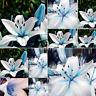 50pc Blue Rare Lily Bulbs Seeds Lilium Perfume Seeds Lily seeds US