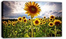 "GRANDE Girasoli floreale foto su tela giallo 34x20"""