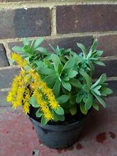 Yellow Aeonium plant. Sedum Palmeri. Hardy Succulent. 9cm pot. Rockery Garden.