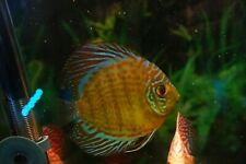 "4.25"" Butterfly Discus High Quality Live Tropical Fish Healthy Guaranteed"