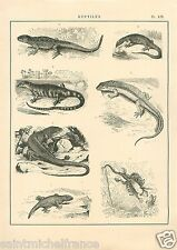 Reptiles Lézards Dragons Geckos Lizards Monitor Niloticus GRAVURE OLD PRINT 1884