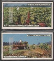 Harvest and Picking  Ripe Tobacco In Fields - Two  90+ Y/O Trade Ad Card