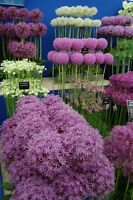 100Pcs Allium Seeds 28 Kind Rare Onion Beautiful Decor in garden Viable Seeds