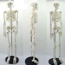 Medical Human Body Skeleton Model Standard Anatomy Manikin Hi-Q Medical 85cm