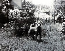 vintage 1940 era Photo Airedale Irish Terrier dog spunky w harness in yard*