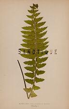 "Lowe's British Ferns - ""NEPHROLEPIS DAVALLIODES DISSOTA"" - Chromo - 1856"