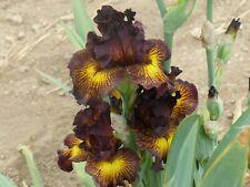 New listing Tall bearded iris Tuscan Summer