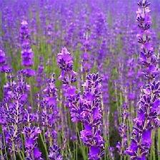 FD848 TRUE ENGLISH LAVENDER Seeds Herb Flower Romantic Provence FRAGRANT ~10PCs~