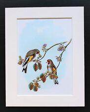 De l'Himalaya, Chardonneret oiseau-monté Vintage John Gould Imprimé, 1960 S Livre Plaque