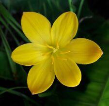 5 Rain Lily Bulbs Zephyranthes 'Citrina' Rainflower Fairy Magic Lily Flower Size