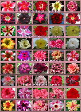 """ADENIUM """"Identified By Color 50 Types"""" 1,100 Seeds RARE!!"""