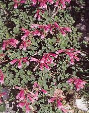 Dicentra Bleeding Heart Eximia Perennial Seeds