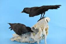 Pair Ravens on real large animal Skull Specimen Premium Taxidermy
