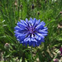 Cornflower - Crown Double Strain Blue - 150 Seeds