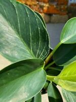 "Philodendron Birkin - 6"" Pot - gorgeous plant!"