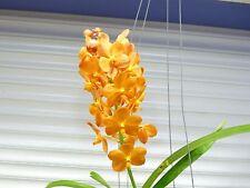 Orchid, Vanda, ' Ascda. Suksamran Sunlight ' , South Florida Grown
