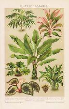 Blattpflanzen Aralie Dracaena Begonia rex  Schiefblatt   LITHOGRAPHIE v.1892