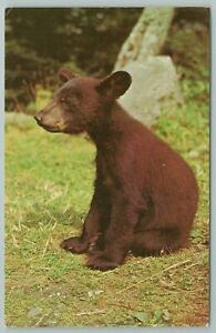 Great Smoky Mountains National Park Tennessee~Black Bear Cub~Vintage PC