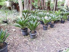 FAON - Cycad sago palm, Cycas revoluta 30cm pot  specimen.