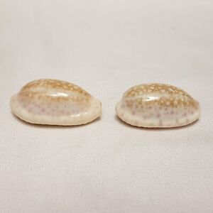 Pair Cypraea Chinensis Cowrie Seashell 34 and 38 MM - Cowry Shell CW69 CW70