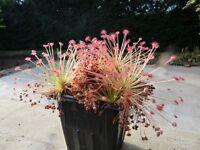Drosera Paradoxa Carnivorous Very Rare Plant 10 seeds Woolly Sundew Petiolaris