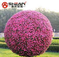 Petunia Tree Morning Glory Seeds Flower Pot Plant Bonsai DIY Home Garden 50 PCS