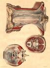 Medical Anatomy Antique Print-APONEUROSIS OF THE NECK-BOURGERY-Jacob-Benard-1831