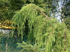 Juniperus rigida WEEPING TEMPLE JUNIPER Seeds! RARE!