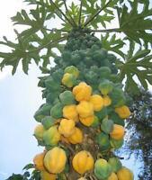 Carica Pubescens Cundinamarca - Mountain Papaya - 10 Seeds
