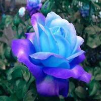 Seltene blaue Regenbogen Rose Blumensamen Gartenpflanze Samen R2R6 100 V8L2 C5F3