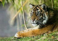 Tiger Cub Art Giant Poster Print - A0 A1 A2 A3 A4 Sizes