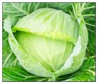 Golden Acre Cabbage Seeds  | NON-GMO | Heirloom | Fresh Garden Seeds <br/> Spend $10+ Get Free Tracking. See Our Variety of Seeds.